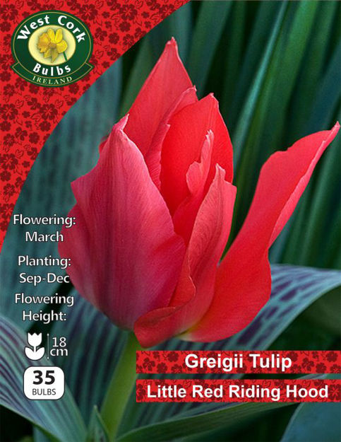 """Picture of Greigii Tulip """"Little Red Riding Hood"""" 35 Bulbs"""