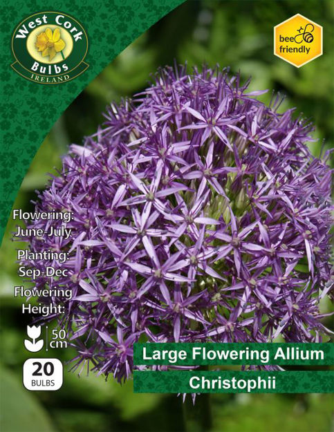 Picture of Large Allium Christophii 20 Bulbs 10-12