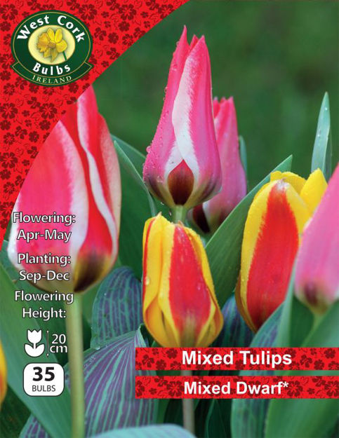 Picture of Mixed Dwarf Tulips 35 Bulbs