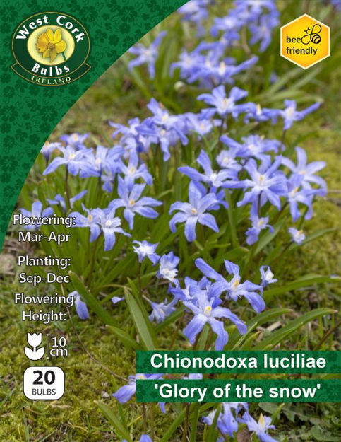 """Picture of Chionodoxa Lucilae 20 Bulbs """"Glory Of The Snow"""""""