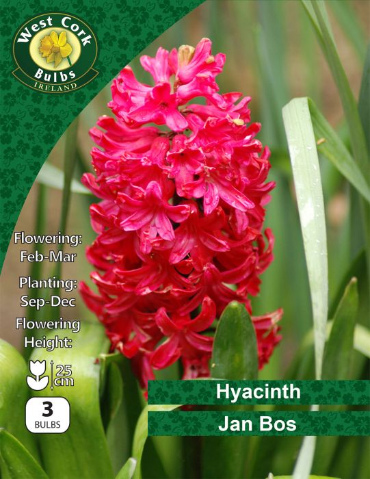 """Picture of Hyacinths """"Jan Bos"""" 3 Bulbs 15-16"""