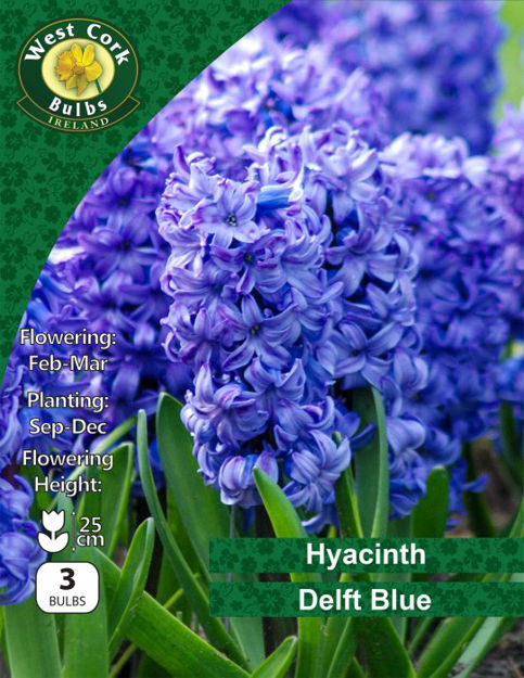 """Picture of Hyacinths """"Delft Blue"""" 3 Bulbs 15-16"""
