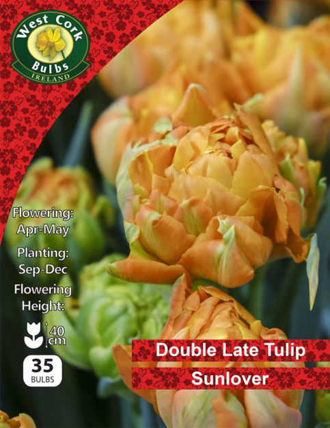 """Picture of Double Late Tulip """"Sunlover"""" 35 Bulbs Net"""