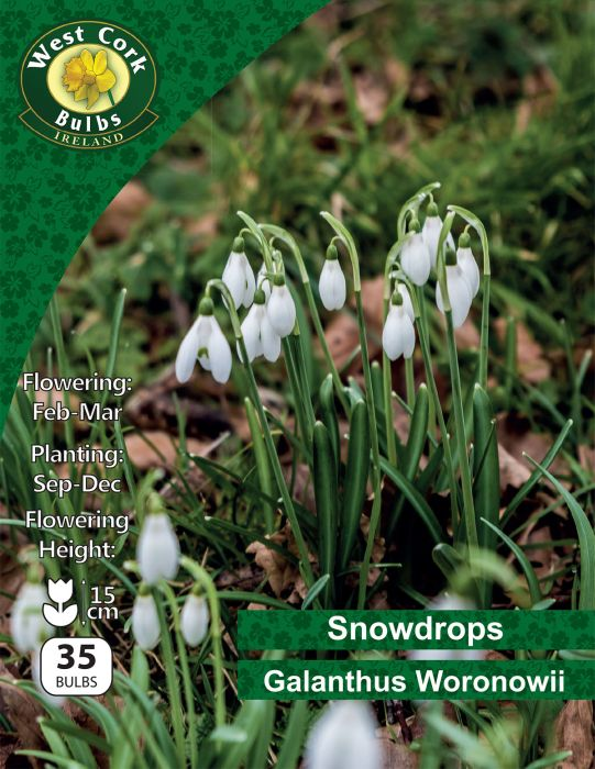 Picture of Snowdrops Galanthus Woronowii 35 Bulbs Pk 5/6