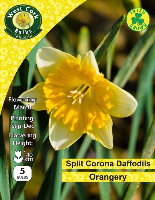 Picture of Orangery Daffodils Spliut Corona 5 Bulb Pack