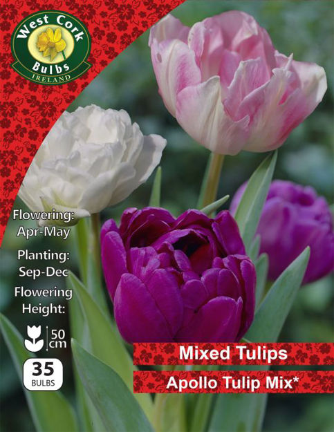 Picture of Apollo Tulip Mix Collection 35 Bulbs