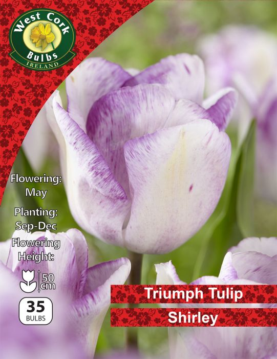 Picture of Triumph Tulip Shirley 35 Bulbs Net 11/12