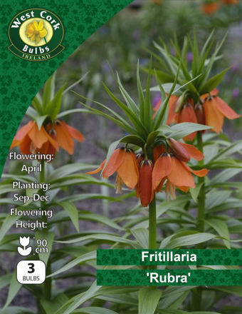 Picture of Fritillaria Imperialis Rubra 3 Bulbs