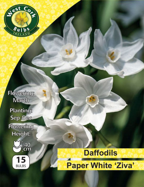 """Picture of Daffodils Paperwhite """"Ziva"""" 15 Bulbs Pack"""