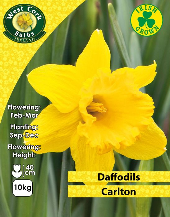 Picture of Carlton Daffodils 10kg Net 12/14