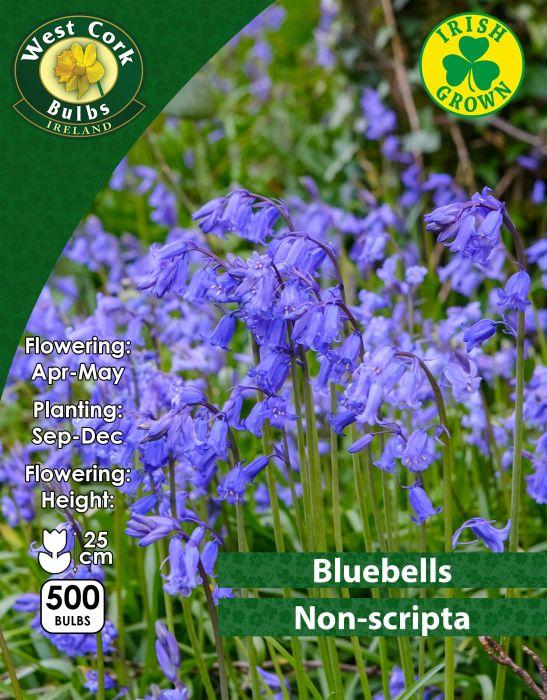 Picture of Bluebells Non Scripta 500 Bulbs 7/8