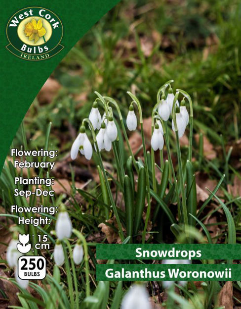 Picture of Snowdrops Galanthus Woronowii 250 Bulbs