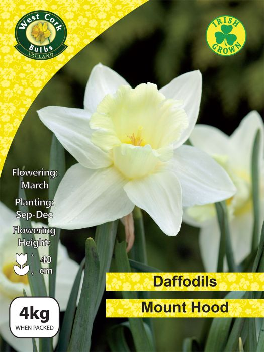 Picture of Mount Hood Daffodils 4kg Net