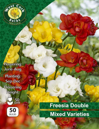 Picture of Freesia Double Flower Mixed Varieties 50 Bulb Pack