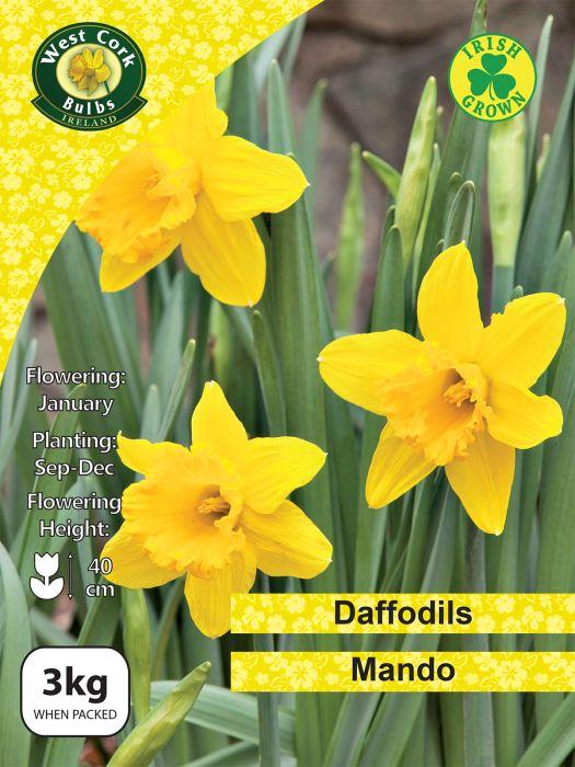 Picture of 3kg Mando Daffodils