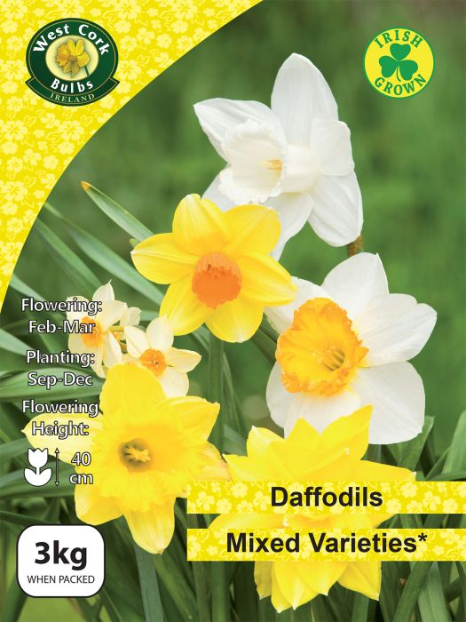 Picture of 3kg Daffodils In Mixed Varieties 12-14