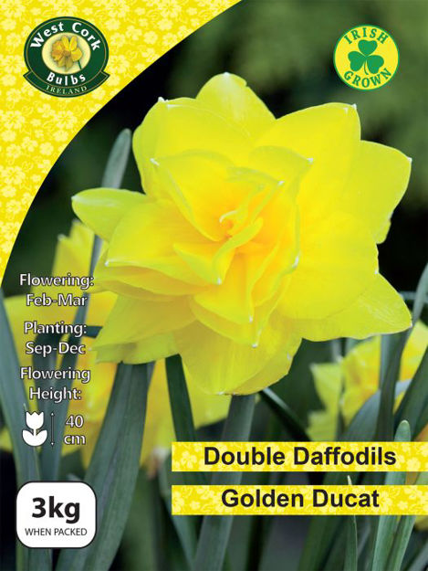 Picture of 3kg Golden Ducat Daffodils 12-14