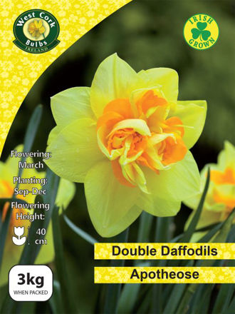 Picture of 3kg Apotheose Daffodils 12-14