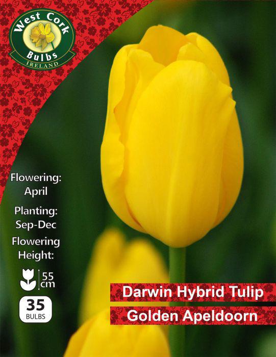 Picture of Darwin Hybrid Tulip Golden Apeldoorn 35 Bulbs