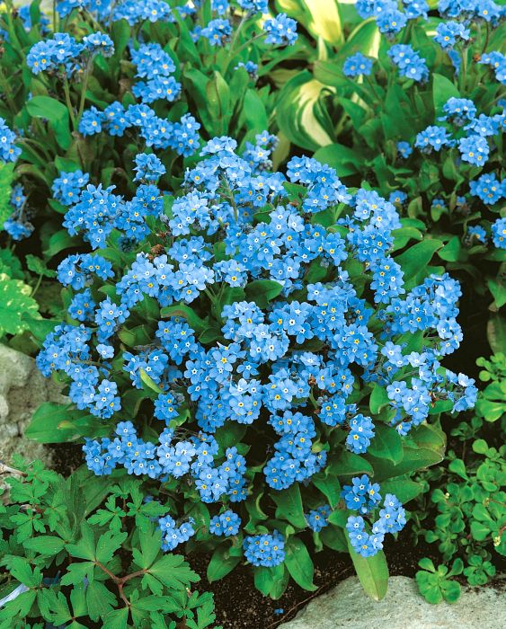 Picture of Unwins Forget Me Not Blue Cloud