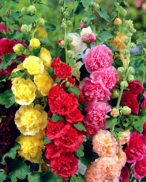 Picture of Unwins Hollyhock Mixed Flower