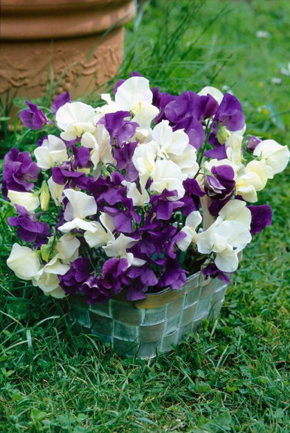Picture of Unwins Sweet Pea Wuthering Heights
