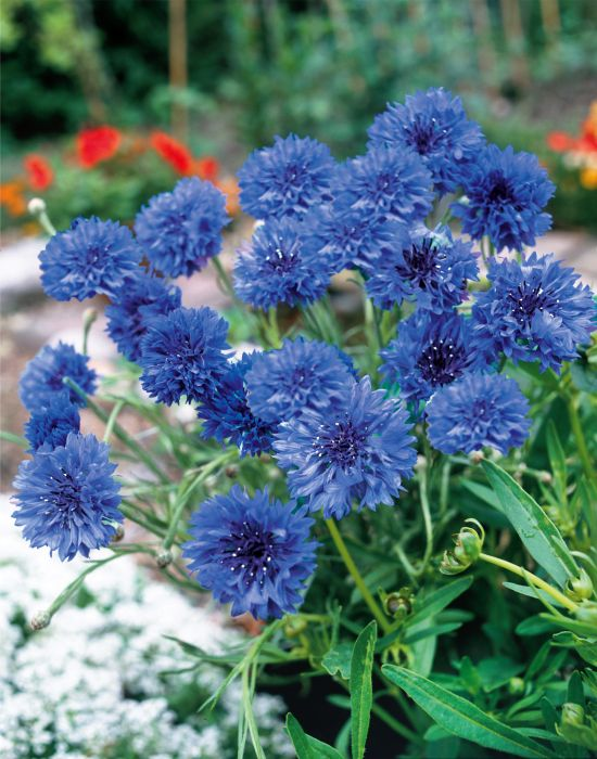 Picture of Unwins Seeds Cornflower Blue Diadem