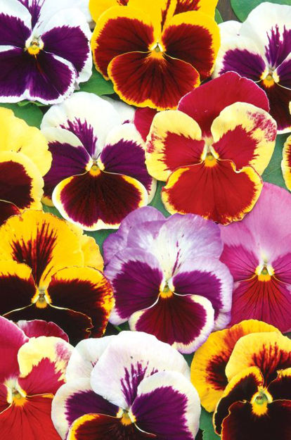 Picture of Unwins Seeds Pansy Swiss Giant Mix