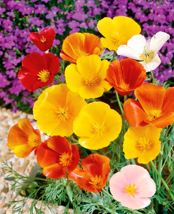 Picture of Unwins Seeds Poppy Californian