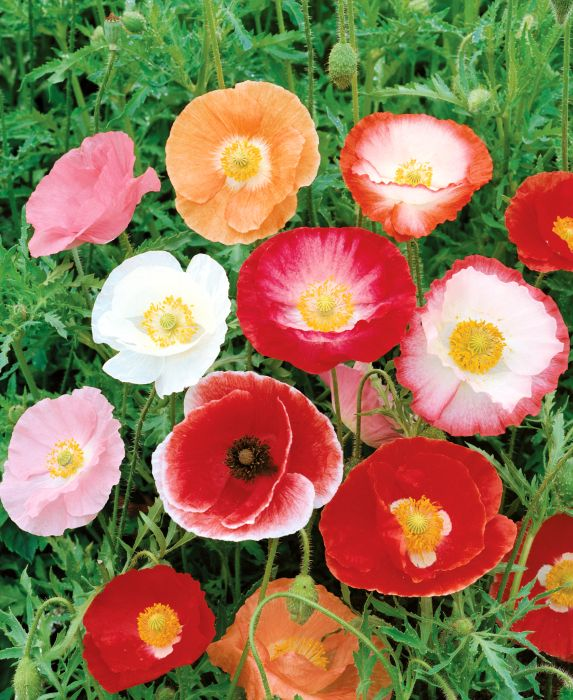 Picture of Unwins Seeds Poppy Shirley Double