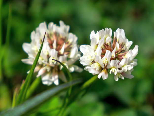 Picture of Unwins White Clover Natures Haven