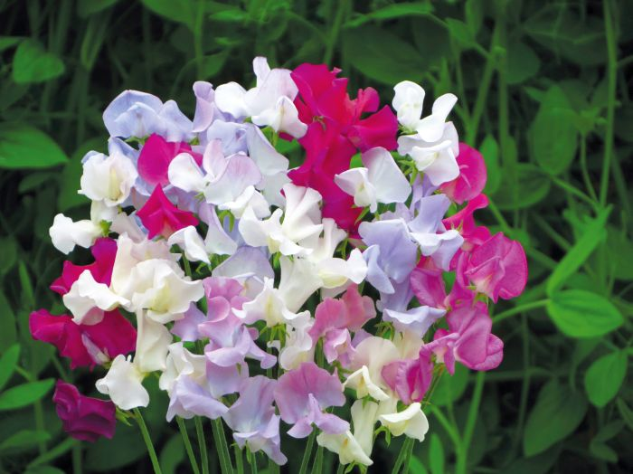 Picture of Unwins Seeds Sweet Pea Confetti