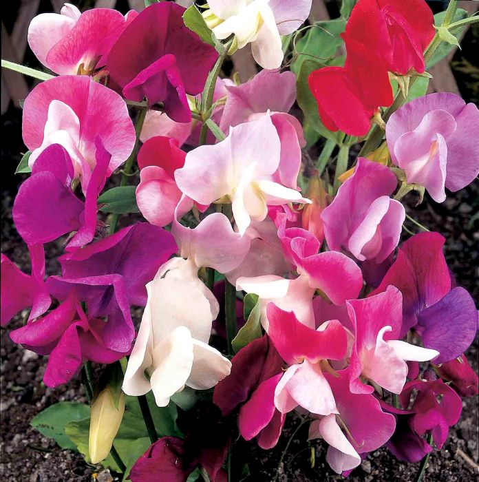 Picture of Unwins Seeds Sweet Pea Continental Mix