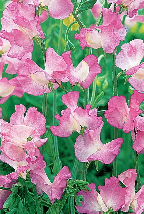 Picture of Unwins Sweet Pea Gwendoline