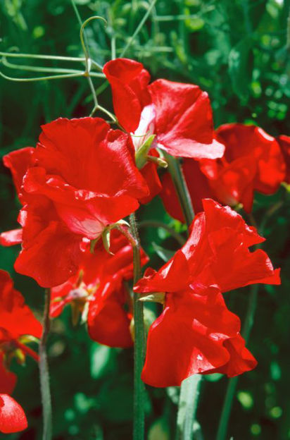Picture of Unwins Sweet Pea Red Arrow