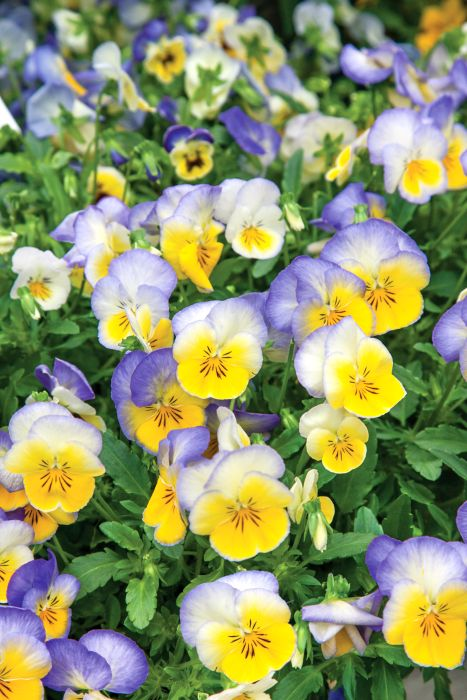 Picture of Unwins Pansy Blueberry Swirl Flower