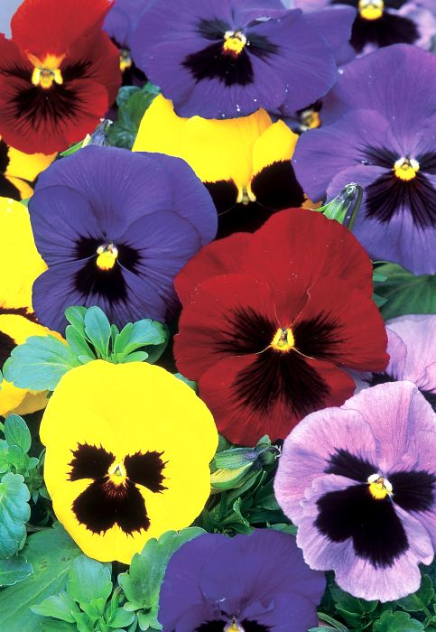 Picture of Unwins Pansy Winter Flowering
