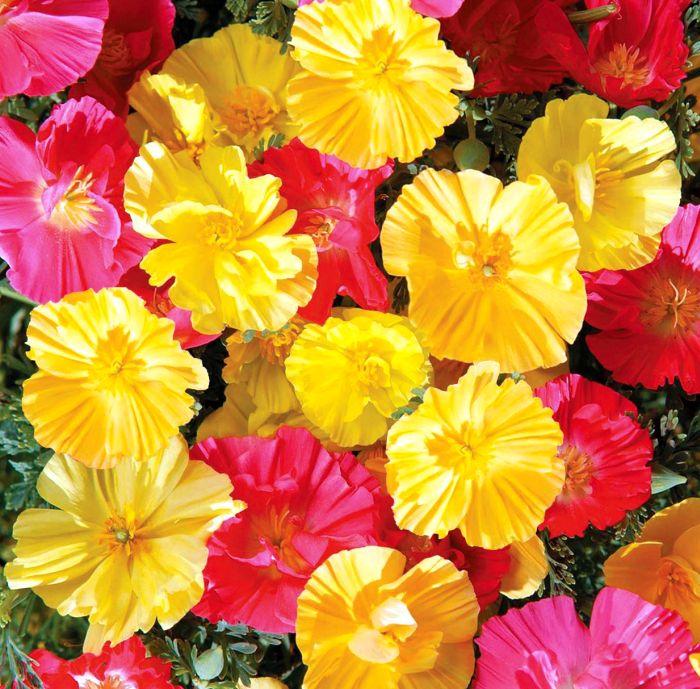 Picture of Unwins Poppy Californian Fruit Crush Flower
