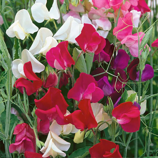 Picture of Unwins Sweet Pea Old Fashioned Mix