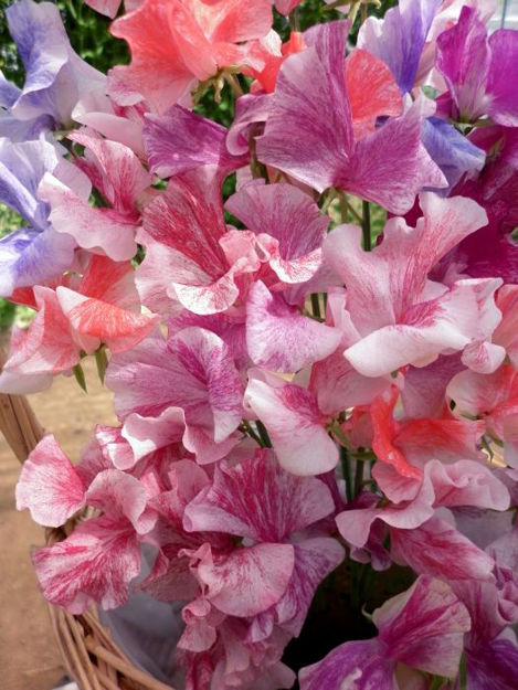 Picture of Unwins Sweet Pea Ripple Mix