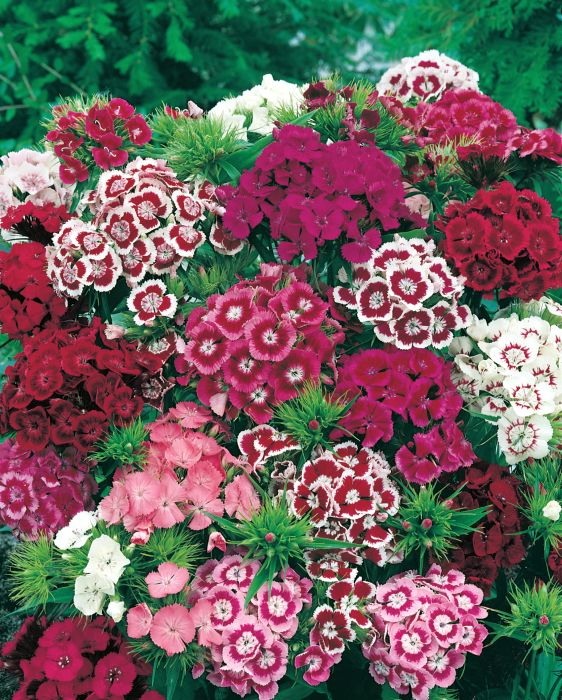 Picture of Unwins Sweet William Early Summer Scented