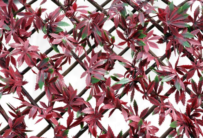 Picture of Wonderwall Red Acer Trellis