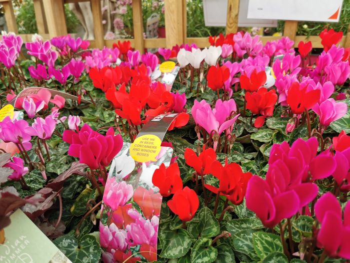 Picture of Mini Cyclamen 6 Packs (assorted)